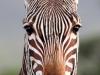 aa-equid-zebra-mountain-zebra-cape-mountain-zebra-de-hoop-reserve-south-africa-13