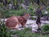 aa-felid-caracal-west-coast-national-park-south-africa-9