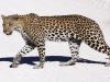 aa-felid-leopard-etosha-national-park-namibia-38