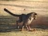 cheetah-run-6