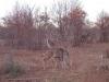 chobe-kudu-081
