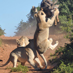 Lucky Kudu