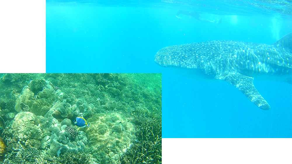 whale shark and underwater fish