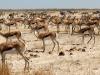 aa-bovid-springbok-etosha-national-park-namibia-84