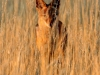 aa-canid-jackal-black-backed-jackal-kgalagadi-national-park-south-africa