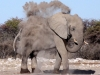 aa-elephant-african-elephant-white-desert-form-etosha-national-park-namibia-29
