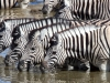 aa-equid-zebra-burchells-zebra-etosha-national-park-namibia-87