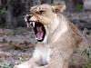 aa-felid-lion-african-lion-chobe-national-park-botswana-9