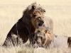 aa-felid-lion-african-lion-three-males-etosha-national-park-namibia-61
