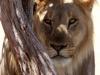 aa-felid-lion-african-lion-three-males-etosha-national-park-namibia-85