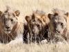 aa-felid-lion-african-lion-three-males-etosha-national-park-namibia-94