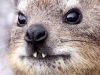 aa-hyracoidea-hyrax-cape-rock-hyrax-table-mountain-national-park-south-africa-on-top-of-table-mountain-8