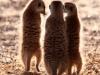 aa-mustelid-meerkat-kalahari-or-kgalagadi-gemsbok-np-19